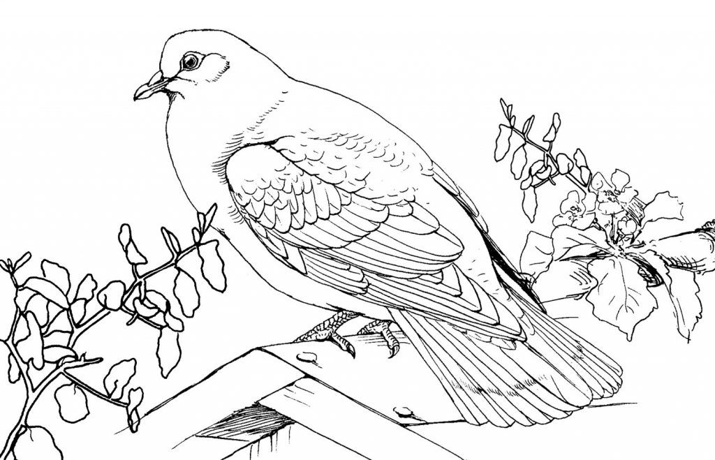 Free Printable Pigeon Coloring Pages For Kids Animal Coloring