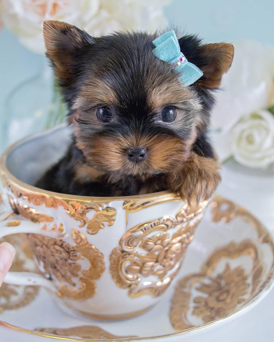 25 Teddy Bear Dog Breeds Shichon Morkie Cockapoo Teacup Puppies Yorkie Puppy Teacup Yorkie Puppy