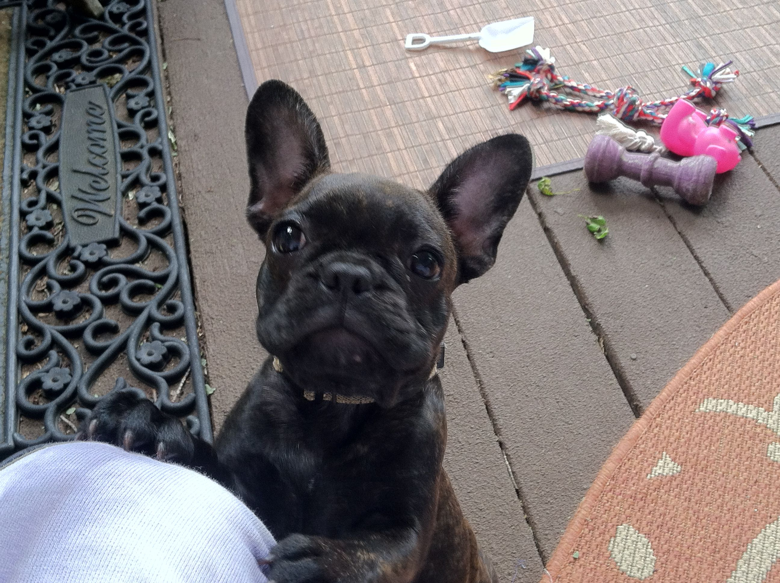 Coco Chanel image by Marcia Voss French bulldog puppy