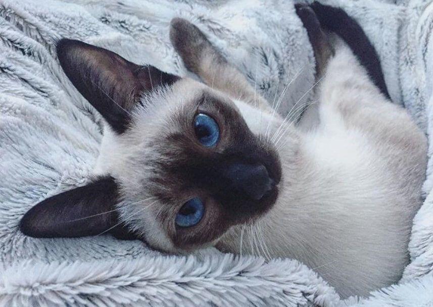26 Thai Cat Names 8211 Best Siamese Cat Names Siamese Cats