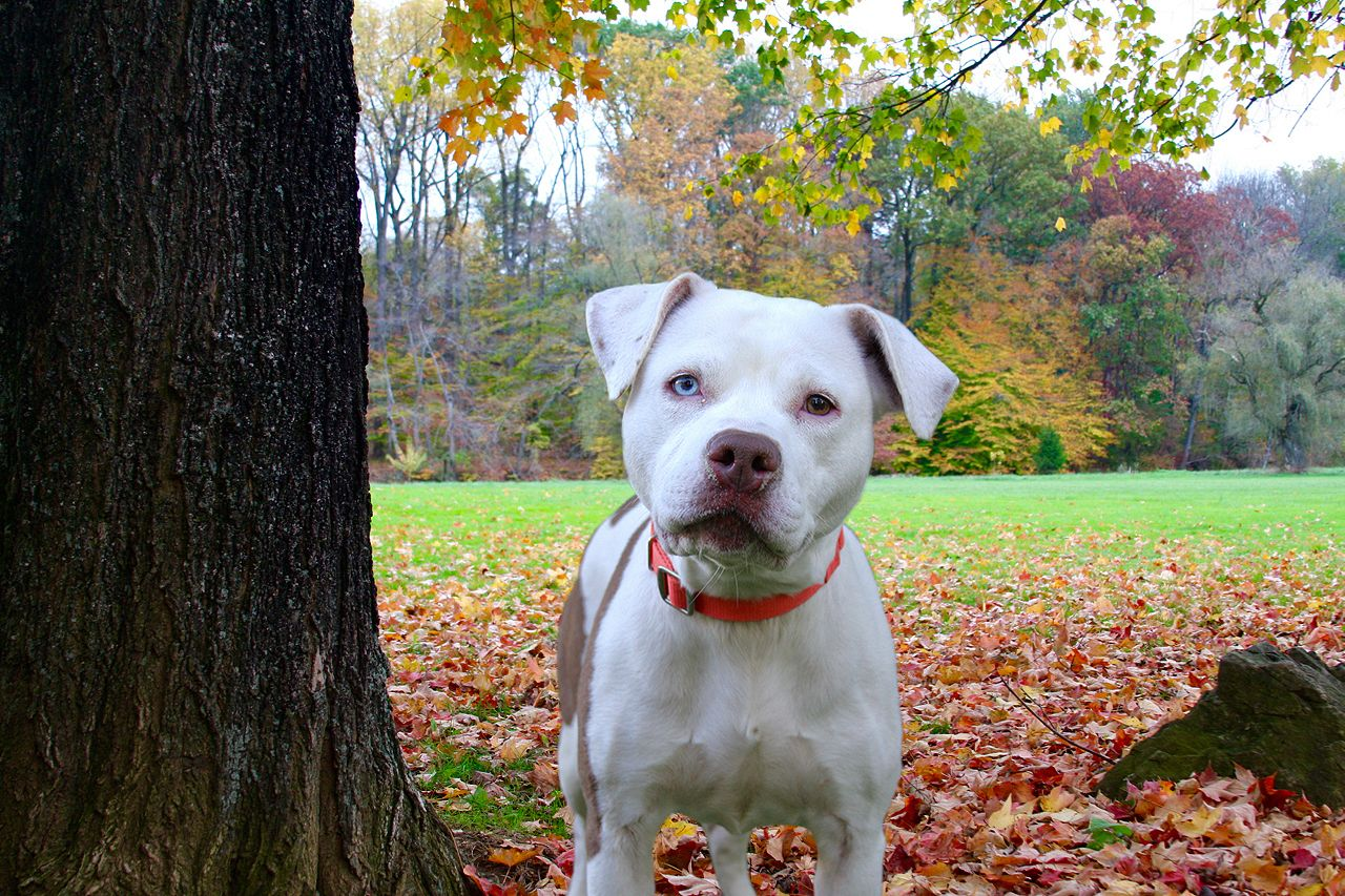Adopt Skye On Petfinder Pitbull Terrier Pitbulls American Pitbull Terrier