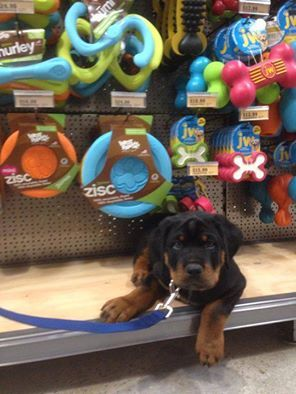 Can we get all of these, mommy?  (photo by Joan Kam-Yuen)  ▬▬► Thousands of Rottweiler owners have already joined, have you? Signup FREE here: http://ilovedogs.ws/-RottyEmail