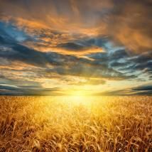 sunset-over-a-field-of-wheat