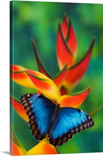 Blue Morpho Butterfly Morpho Granadensis Sitting On Tropical Heliconia Flowers In 2021 Blue Morpho Butterfly Blue Morpho Beautiful Butterfly Photography