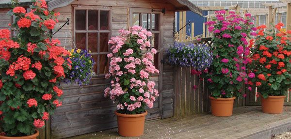 Flower Varieties For Hanging Baskets : Geraniums are a popular summer bedding plant available in