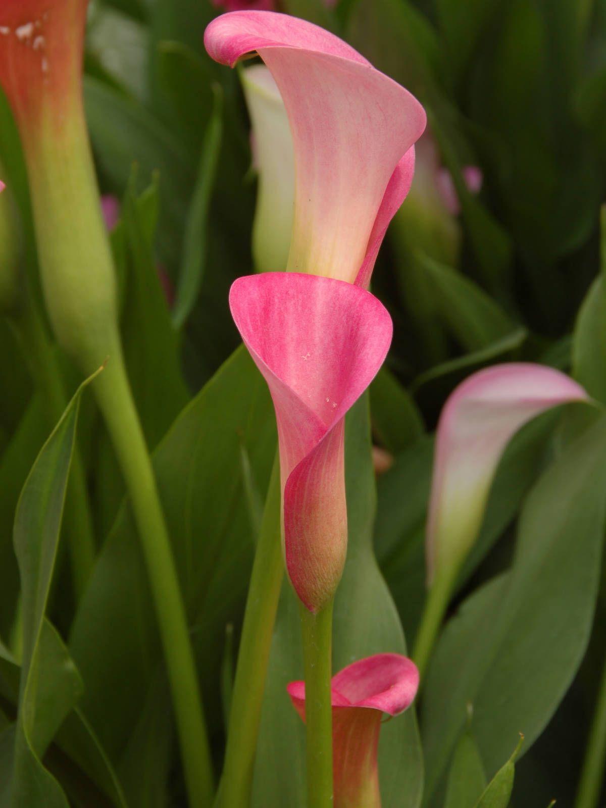 Zantedeschia Rehmannii Pink Calla Lily World Of Flowering Plants Calla Lily Flowers Lily Plants Zantedeschia