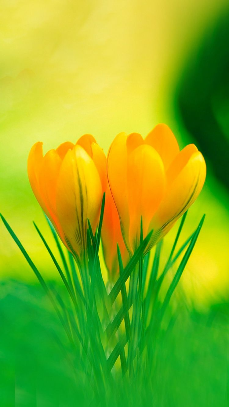 Iphone wallpaper yellow flowers - Download Yellow Lily Flowers Spring Iphone 6 Wallpaper