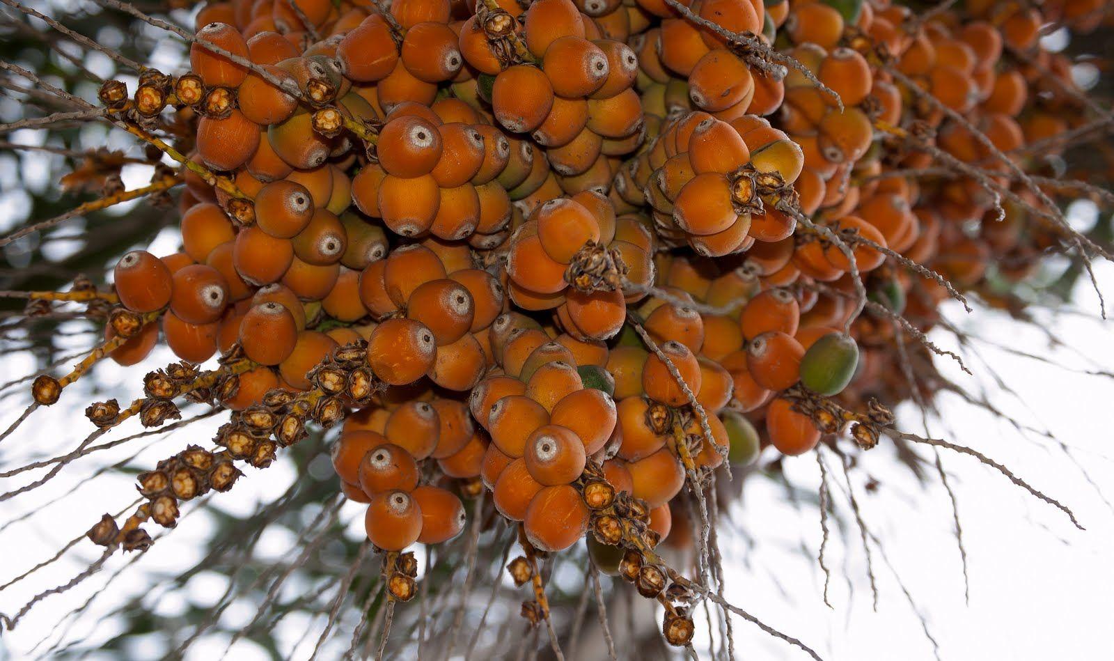 Plantaron 10 palmeras pindó en la Rambla francia