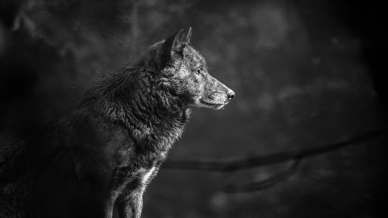 Hintergrundbilder Hd Wolf