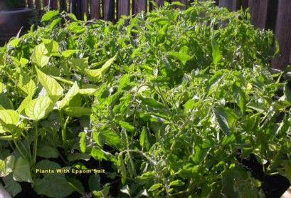 Why i use epsom salt in the garden epsom salt is a mineral - Sel epsom jardin ...