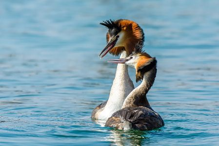 Great Crested Grebe courtship by Roberto Melotti