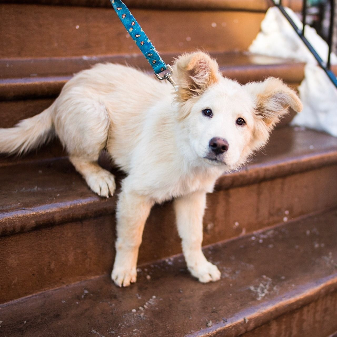 Thedogist Larry Chow Chow Golden Retriever Mix 4 M O 9th 2nd Ave New York Ny We Ve Only Had Him F Dogs Golden Retriever Golden Retriever Mix Dogs