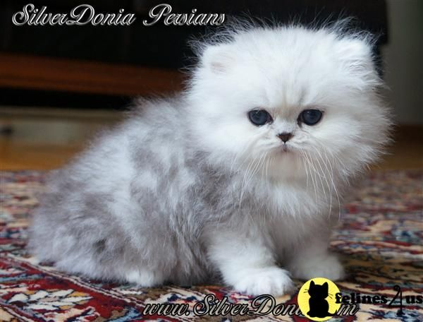 Oscar How He Looked As A Kitten Before He Went Evil Silver Persian Kittens For Sale Award Winning Parents Cute Cats Cute Cats And Kittens Beautiful Cats