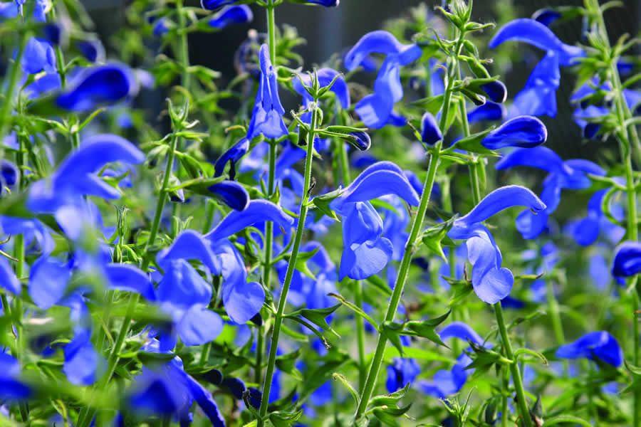 Salvia patens Oceana blue Deze Salvia is een rechtop ...