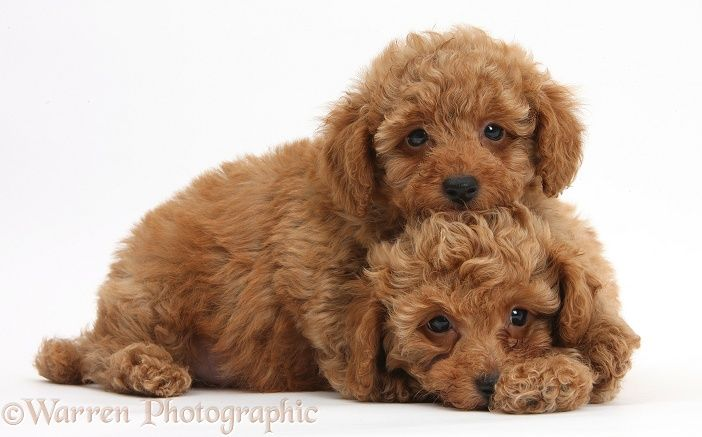 Two Cute Red Toy Poodle Puppies Order An Oil Painting Of Your Pet