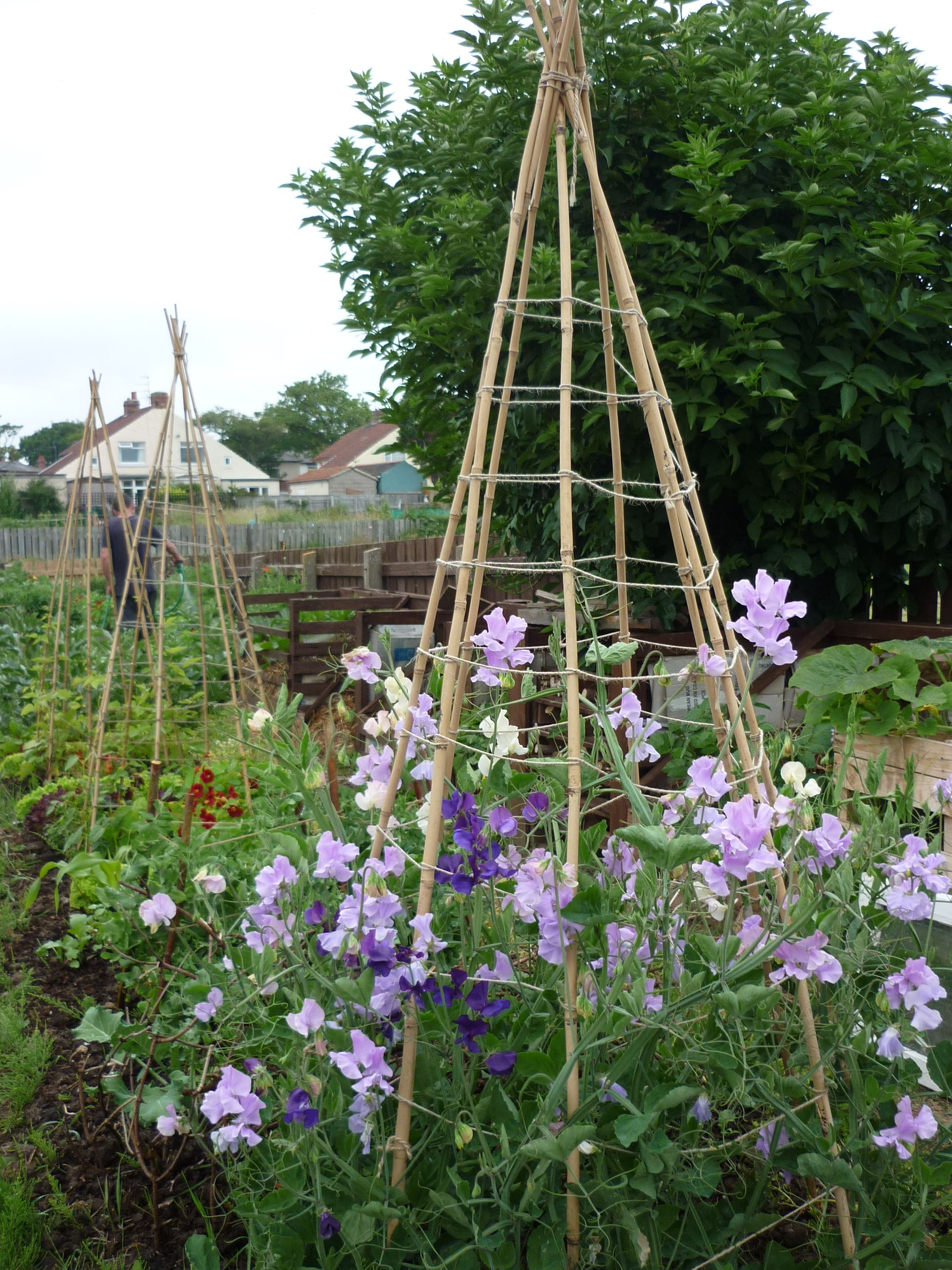 Sweet Pea Support Ideas Google Search Garden Arches Sweet Pea