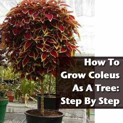 How To Grow Coleus As A Tree Step By Step Hibiscus Plants and