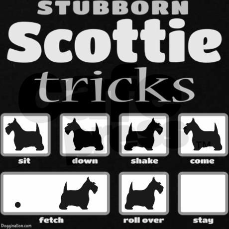 Scottie Tricks-So true! Nothing more stubborn than a Scottie!