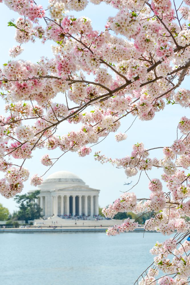 Jefferson Memorial During The Cherry Blossom Festival Washingtondc Best Western Hotel Cultural Attractions Pretty Places