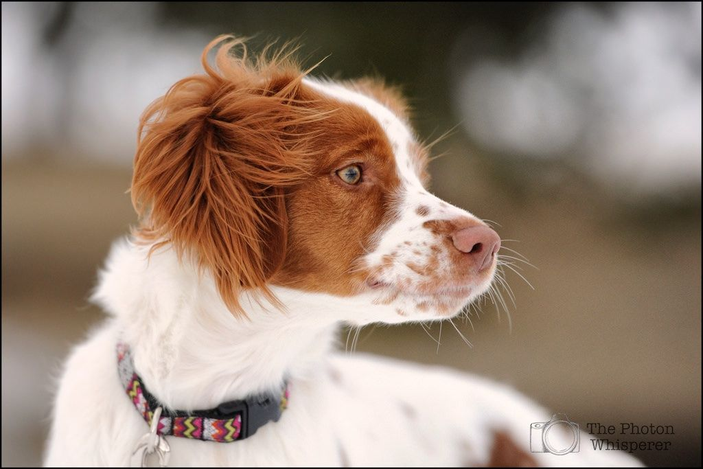 Brittany Spaniel Britts Love Mine And Springers