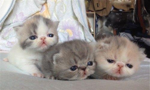 ペットを飼いたい貴方に 人気のペットをランキングでご紹介 猫 種類 エキゾチックショートヘア 子猫 ペット