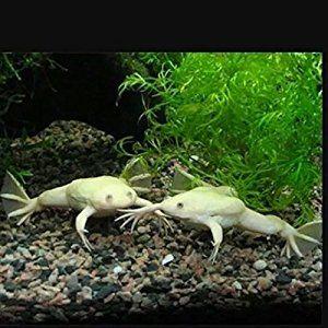 Amazon Com Live Albino African Clawed Underwater Frog Pet Supplies Albino African African Clawed Frog Albino