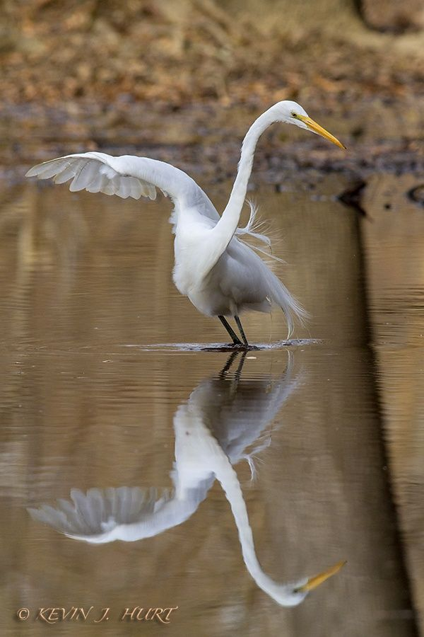 Egret+Dance+by+Kevin+J.+Hurt,+PhD+on+500px