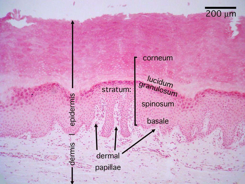 Histology Integument Cornified Skin