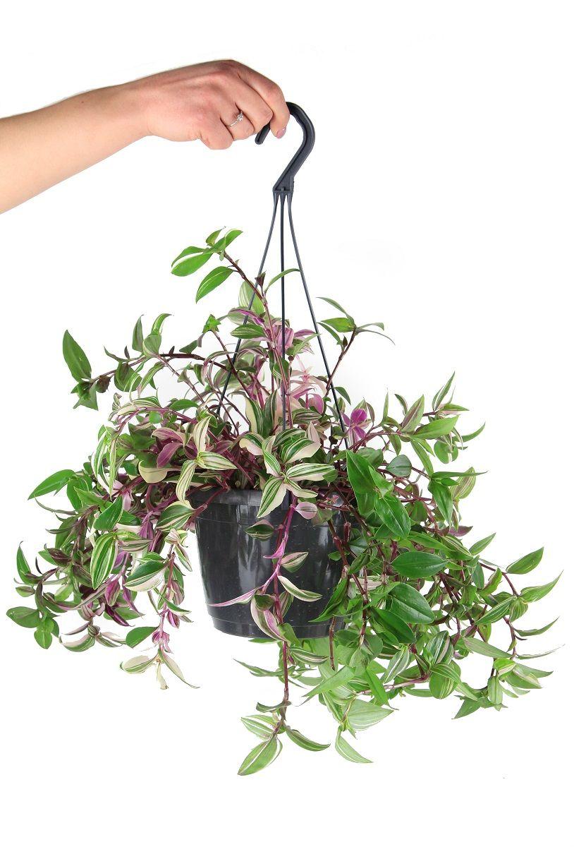 Tradescantia Fluminensis Tricolor Trzykrotka Zielony Parapet Plants Tri Color Succulents