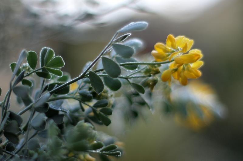 Coronilla valentina - Mediterranean plants