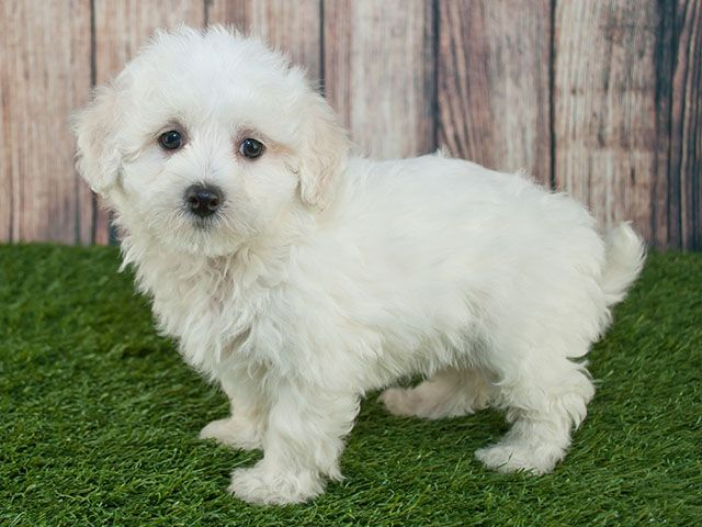 Maltipoo Maltese And Toy Poodle These Pups Which Are Also Called