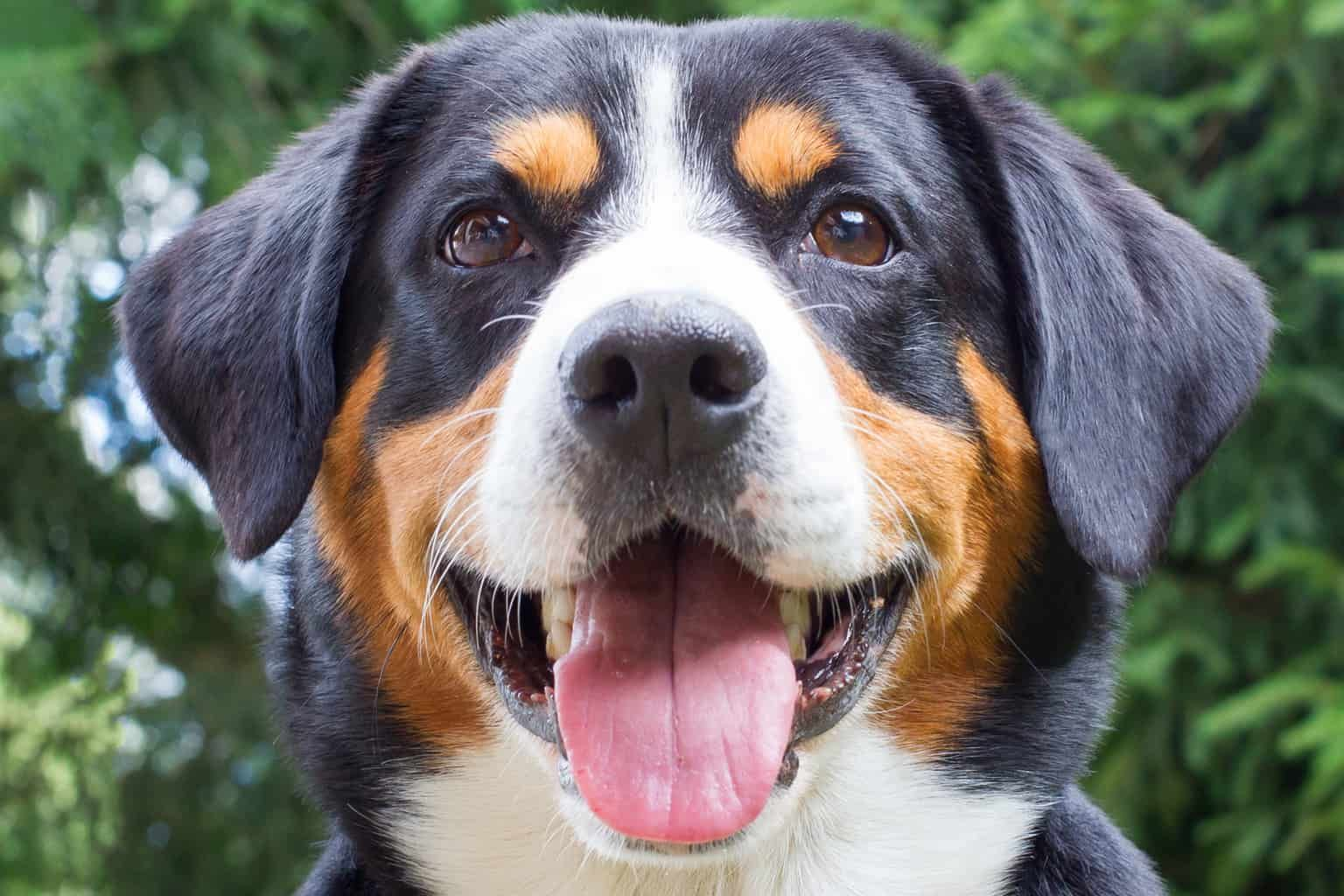 Appenzeller Sennenhund Charakter Wesen Pflege In 2020 Sennenhund Entlebucher Sennenhund Hunde