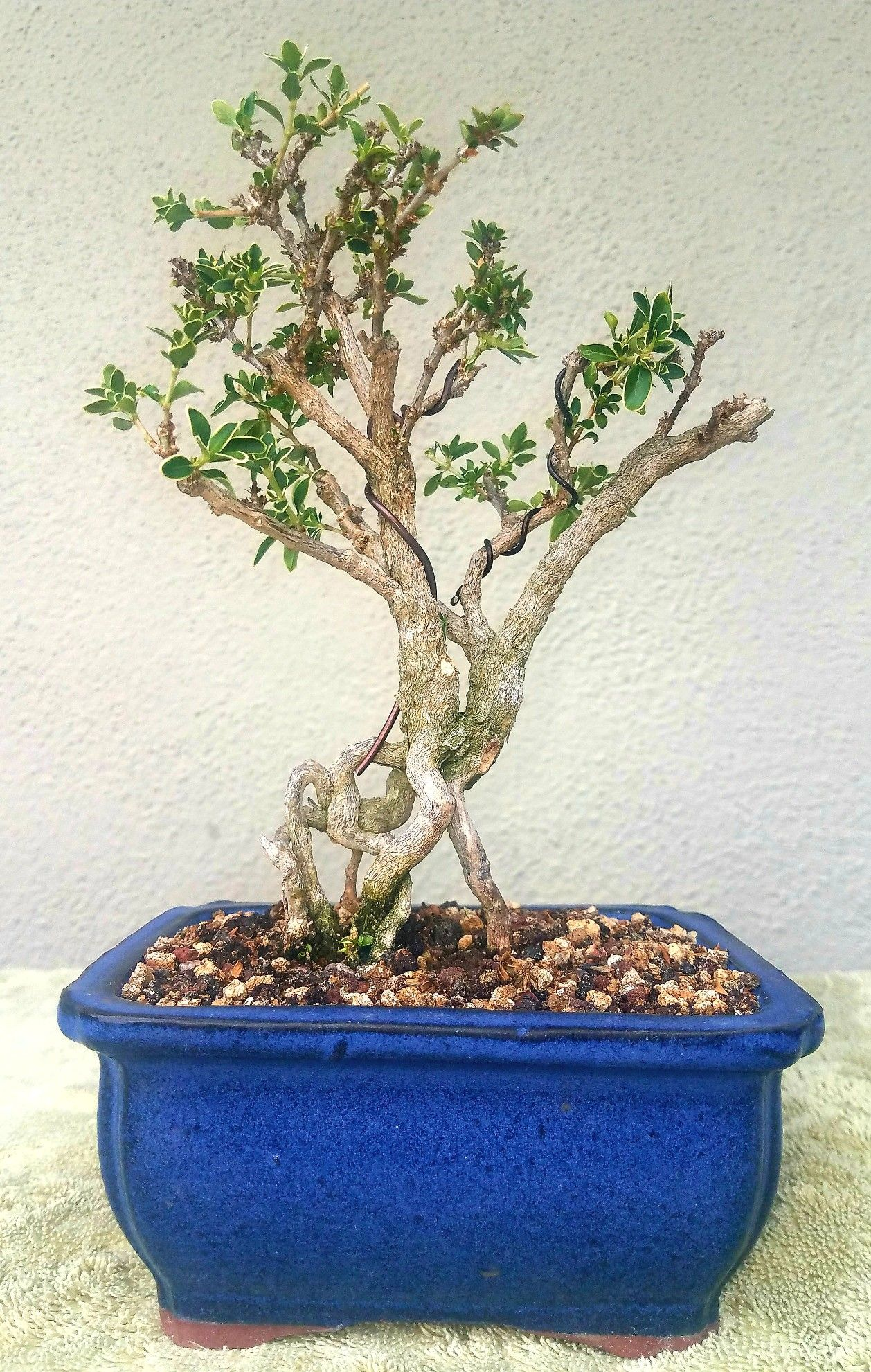 picture 4 i did some pruning and wiring on my serissa pre bonsai rh pinterest com au wiring ficus bonsai wiring ficus bonsai