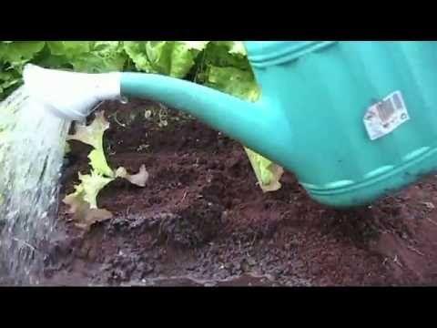 Replantado de lechugas (tuhuertofacil.es)