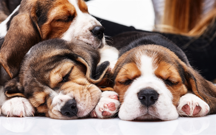 Download Wallpapers Beagle Dogs 4k Puppies Sleeping Dogs Family Pets Dogs Cute Animals Beagle Small Beagle Besthqwallpapers Com Sleeping Dogs Beagle Puppy Beagle Temperament
