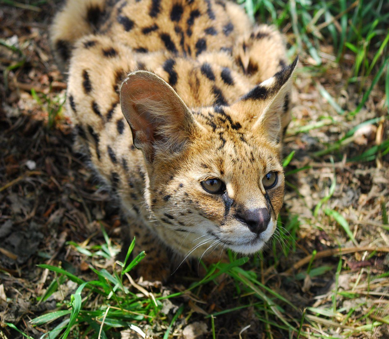 Member Photos Serval African Wild Cat Small Wild Cats Wild Cats