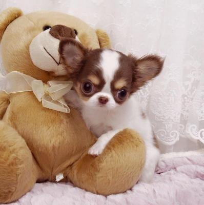 Chihuahua Puppies Sale Boise Chihuahua Puppies Cute Chihuahua Teacup Chihuahua