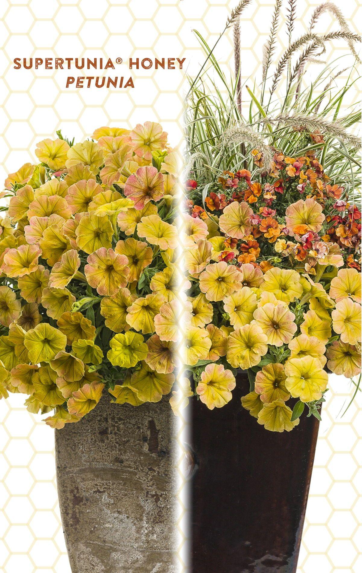 Supertunia Honey Petunia Hybrid In 2020 Container Flowers