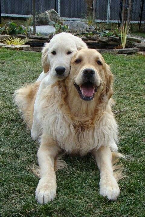 Pin By Greenclean Colorado On Puppies Golden Retriever Dogs