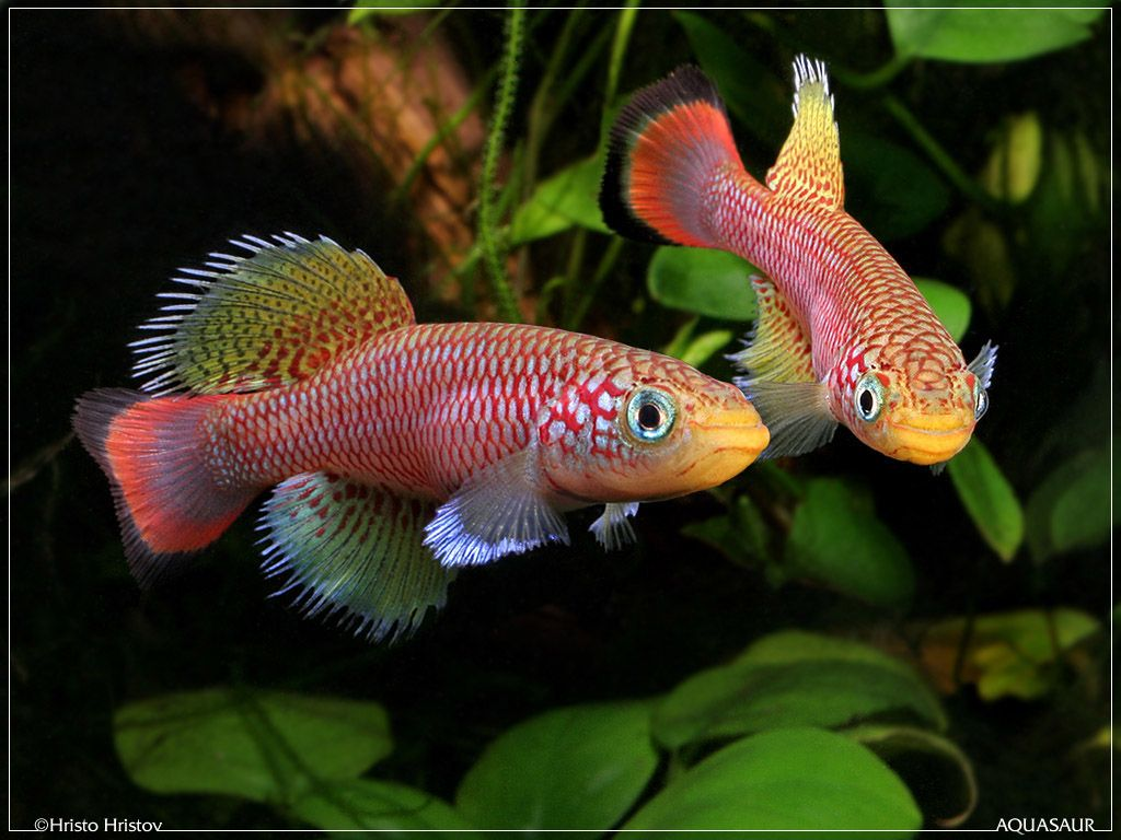 Exotic fish freshwater tropical fish species killifish for Exotic fish tanks