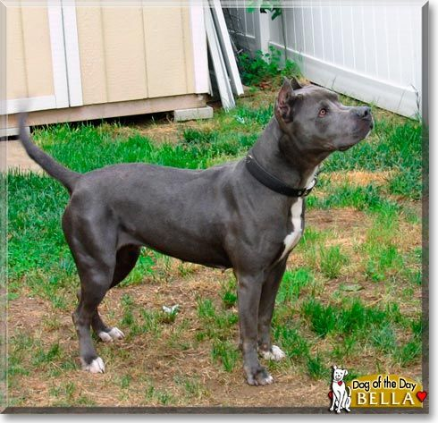 Cane Corso Pitbull Mix Age Breed Four Years Old Cane Corso
