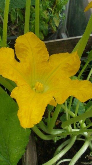 Bolcourgette bloem