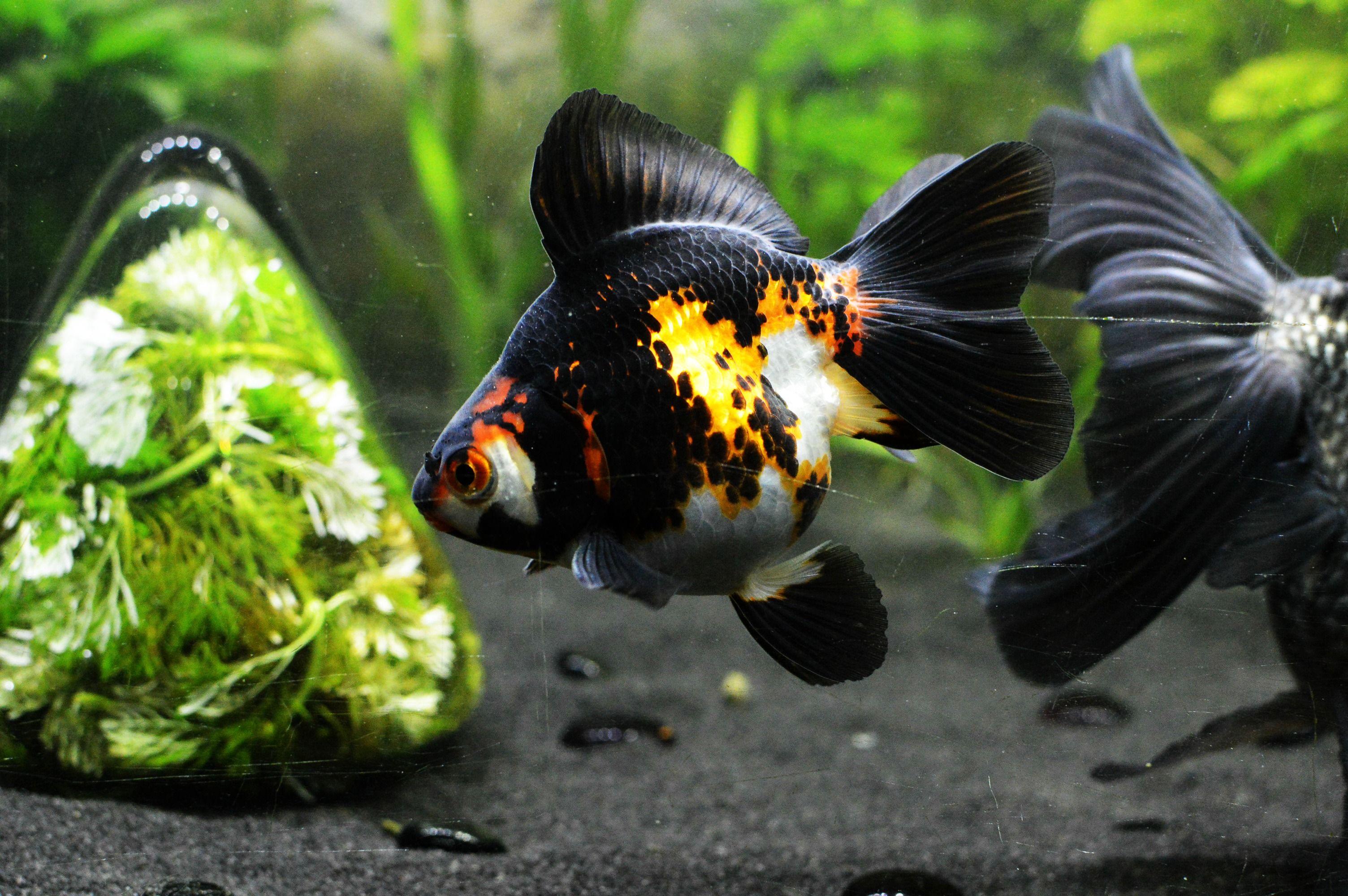 Broadtail Ryukin Three Colour Freshwater Fish Ryukin