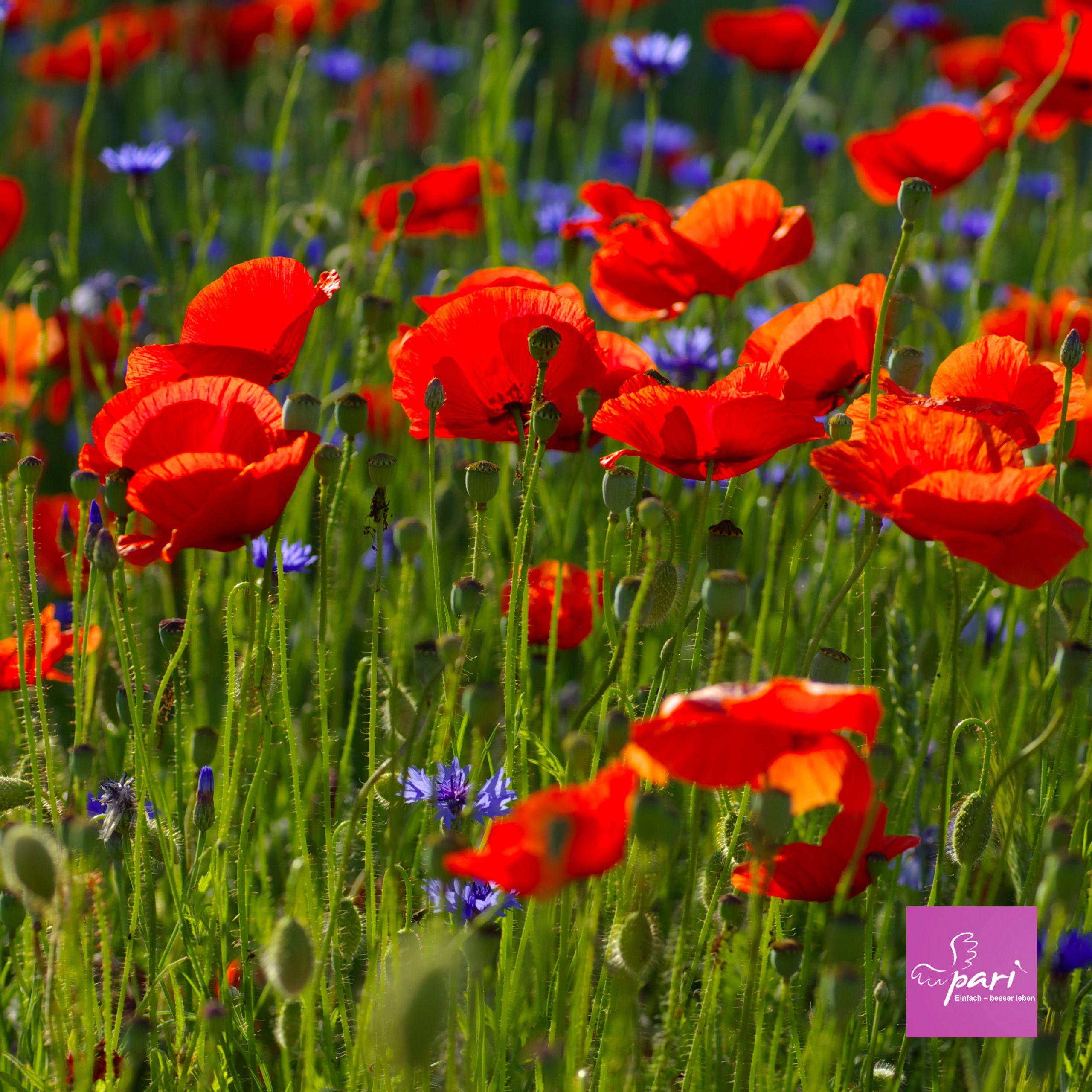 Mohn Schmeckt Nicht Nur Auf Dem Kuchen Sondern Sieht Schon Aus Mohnblume Kornblume Wiese Wiesenblumen Graser Pflanzen Blumen Wiese Jenseitskontakte