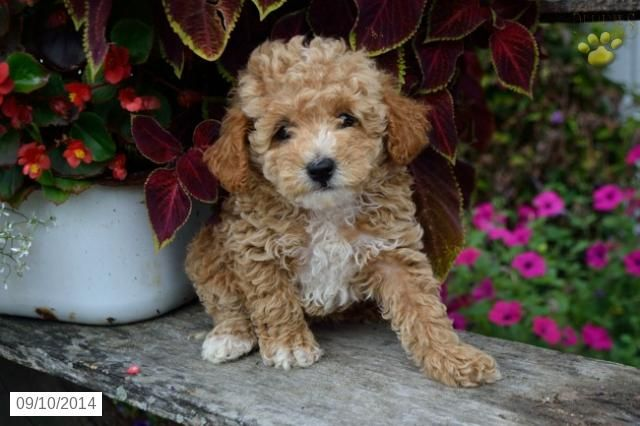 Poodles Standard Puppy For Sale In Ohio Poodle Puppy Puppies