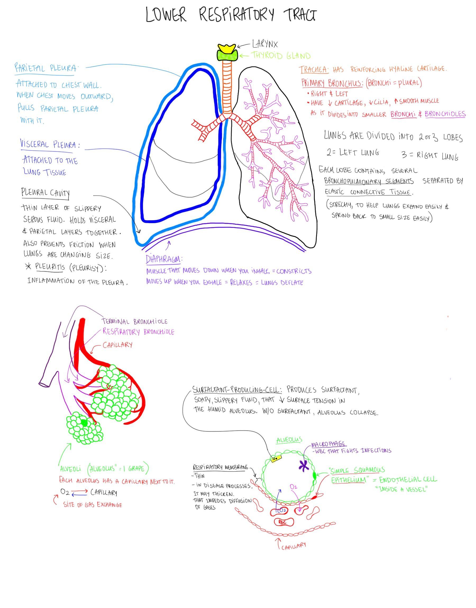 Lower Respiratory Tract. Content credit: Suzanna Heinze. Artist ...