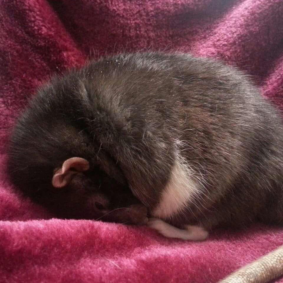 Rats sleeping like potatoes