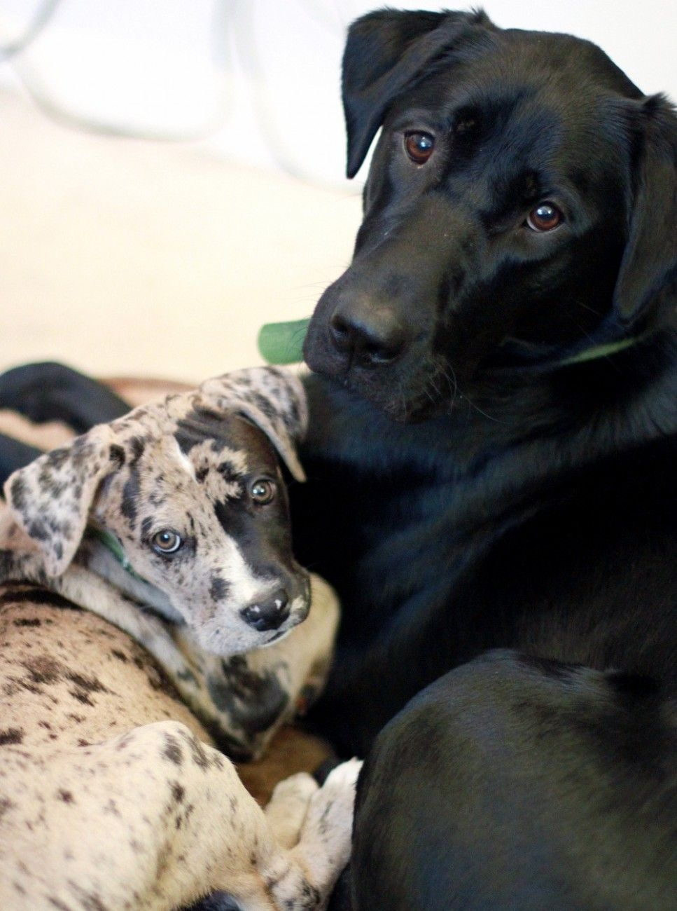 Black And White Great Dane Boxer Mix Puppies Pictures Boxer Lab