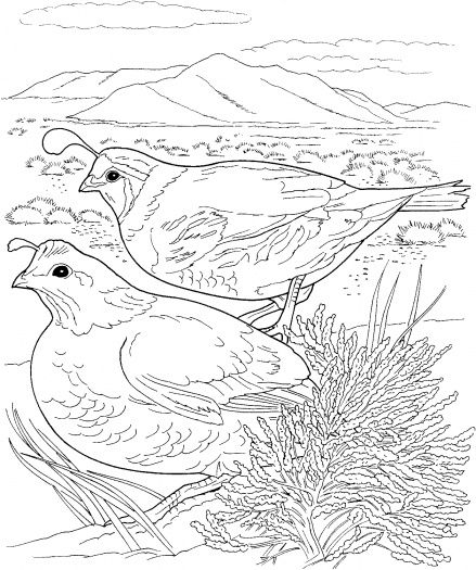 Two Quails Coloring Page Super Coloring Bird Coloring Pages Animal Coloring Pages Desert Animals Coloring