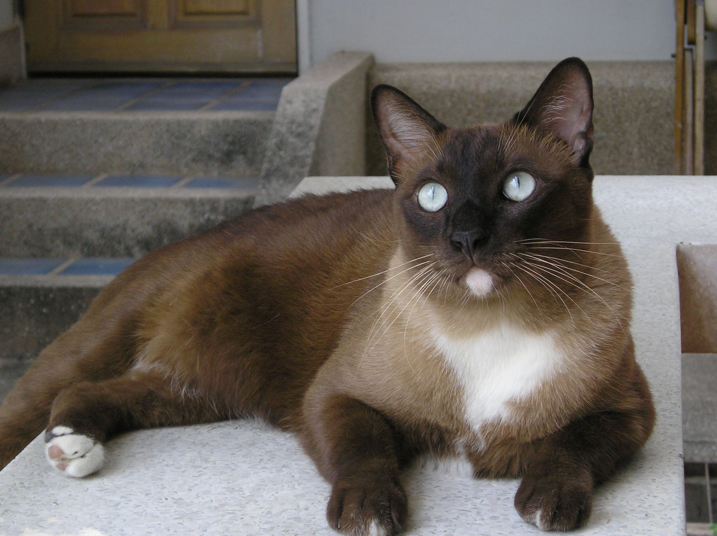 BaMee my Siamese mixed cat Beautiful cats, Cats